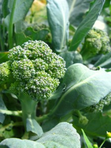 Broccoli growing in the fields